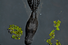 gator06